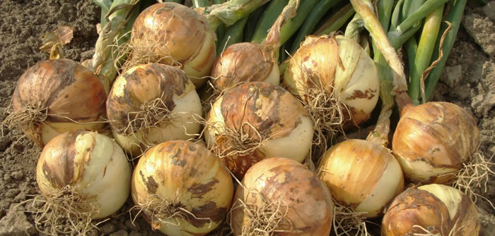Late planting of onion sets at the allotment