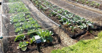 Netting Brassicas using Build-a-Ball Connectors