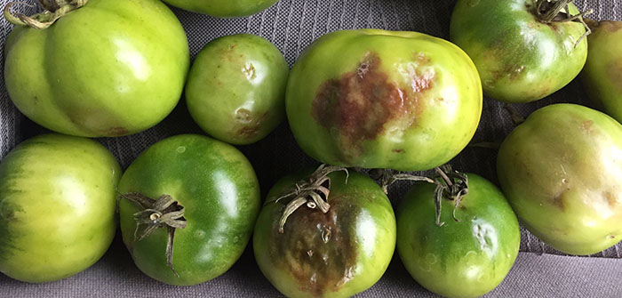 You say tomato, I say 'blight', let's call the whole thing off