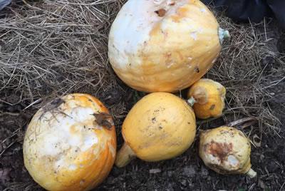 Losing pumpkins after setting