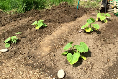 Planting out giant pumpkins