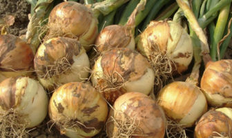 Growing onions at the allotment