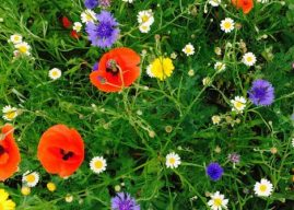 Mixed perennial and wildflower meadow planting