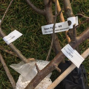 Planting Dwarf Fruit Trees
