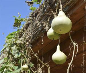 Bottle Gourds (Calabash)