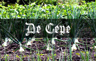 How to Grow Onions: Medieval Grow Your Own