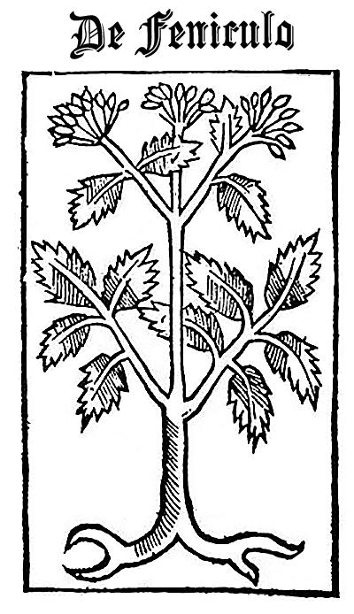 Fennel (De Feniculo)
