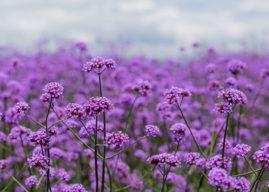 I'm a Volunteer at RHS Chelsea & Hampton Court Flower Shows