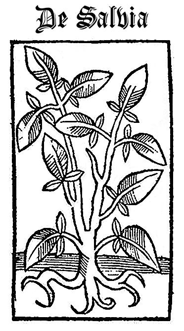 Sage (De Salvia)