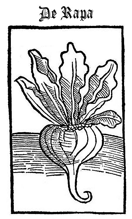 Turnip (De Rapa)