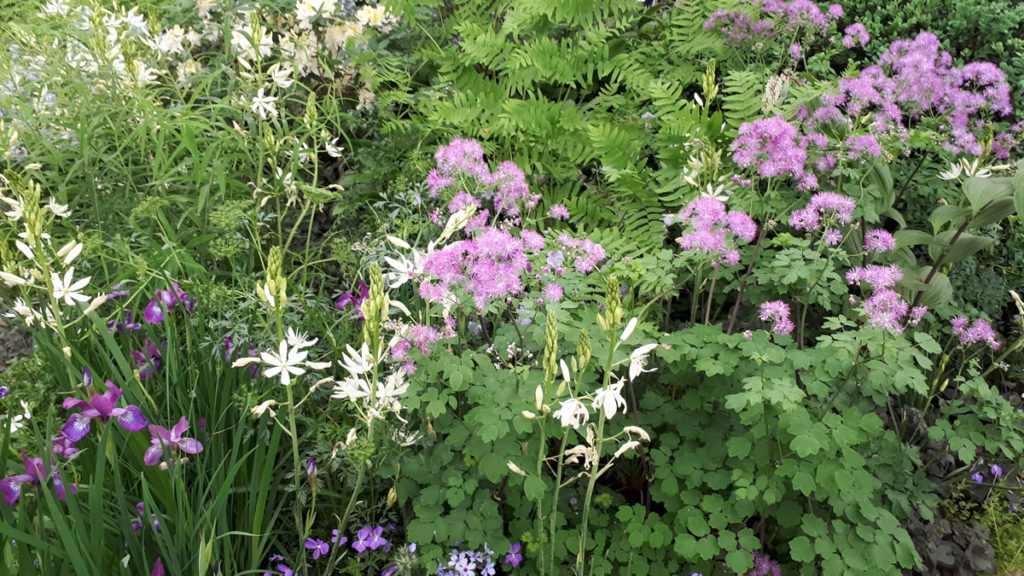 Lots of stunning Thalictrum aquilegifolium 'Black Stockings'
