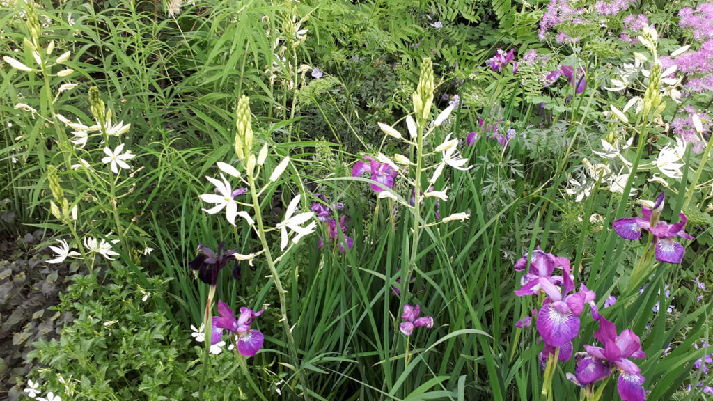 Camassias and Irises alongside Phlox divaricata 'May Breeze' and Polygonatum verticillatum