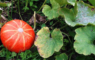 Uchiki Kuri Squash - ripe but weak to powdery mildew