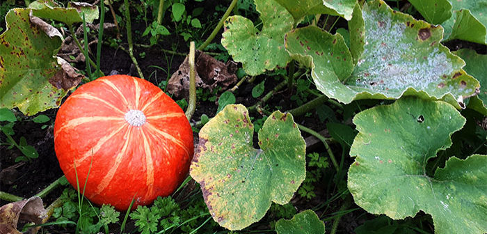 Powdery Mildew Prevention for Pumpkins