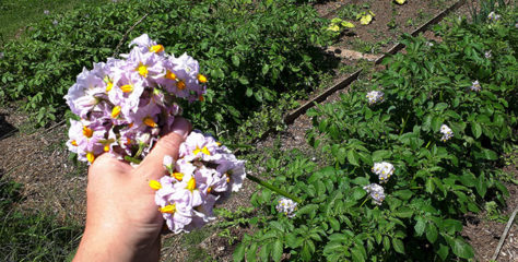 Should you remove potato flowers and/or their fruits?